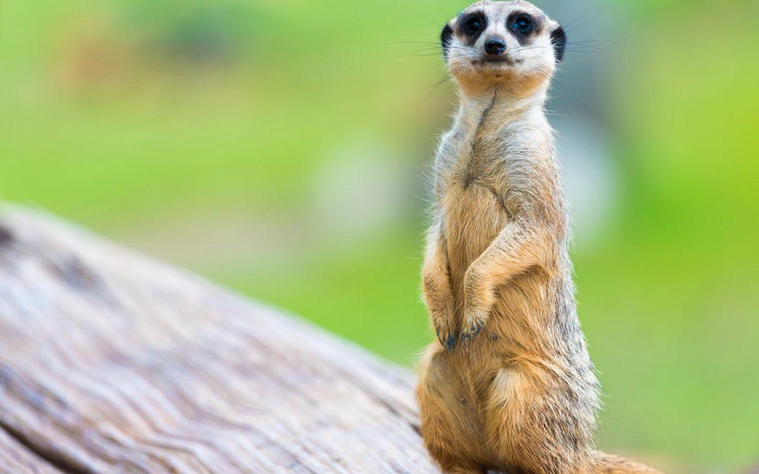 Meerkat no more – 4 minute read